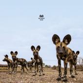 Balthazar - Fever (White Vinyl) (LP)
